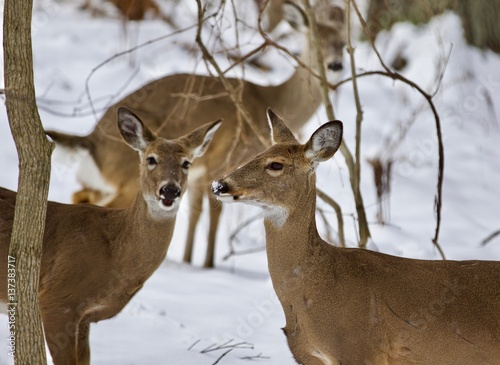 Deurstickers Hert Beautiful isolated background with three wild deer in the snowy forest