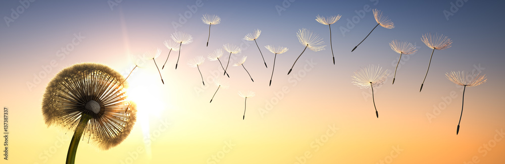Fototapety, obrazy: Pusteblume im Sonnenuntergang 1
