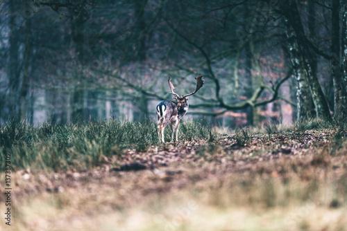 Foto op Aluminium Jacht Fallow deer standing in meadow of forest licking shoulder.