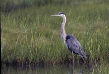 Great Blue Heron (Ardea Herodias) Standing In Water, Edwin B. Forsythe National Wildlife Refuge, New Jersey, USA