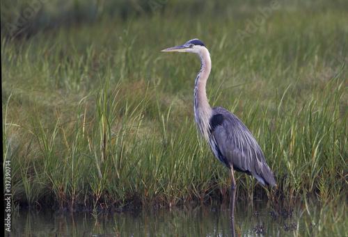 Fotografie, Tablou Great blue heron (Ardea herodias) standing in water, Edwin B