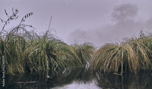 Fényképezés  Carex paniculata - Greater Tussock Sedge
