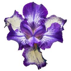 Blue flowers iris isolated on white background