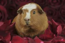 Guinea Pig Breed Golden Americ...