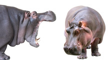 Hippopotamus Isolated On White...