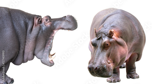 Hippopotamus isolated on white background Tableau sur Toile
