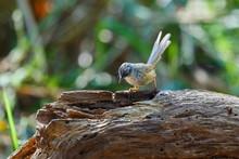 Brown Prinia - Birds Of  Doi Sun Juh, Chiang Mai,Thailand.