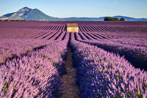 Poster Violet fields of lavender in Provence