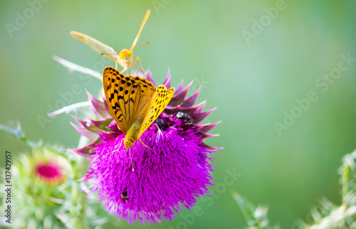 Photo  Pair of Argynnis pandora butterflies with opened wings sitting on a Cotton thist