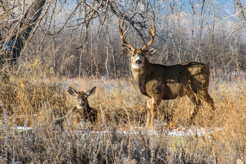 Mule Deer Buck And Doe Relaxing Together On A Fall Morning Buy