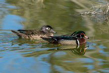 Wood Duck Mating Pair Swimming