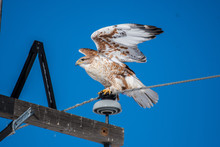 Ferruginous Hawk Ready For Flight