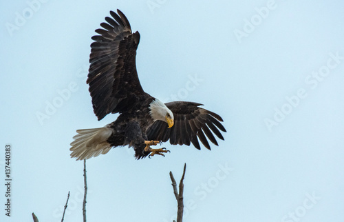 Poster Aigle Bald Eagle Coming in for a Landing