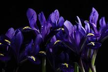 Purple Irises On A Black Background