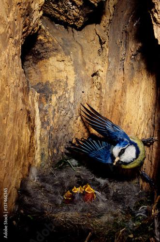 Fotografie, Obraz  cinciarella parus caeruleus nido cavità pulcini imbeccata uccelli prole castelve