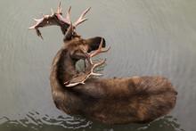 Bull Moose (alces Alces), Captive, Alaska Wildlife Conservation Centre;  Portage, Alaska, United States Of America