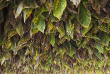 Type 41 Tobacco Drying In Barn In Lancaster County; Pennsylvania, United States Of America