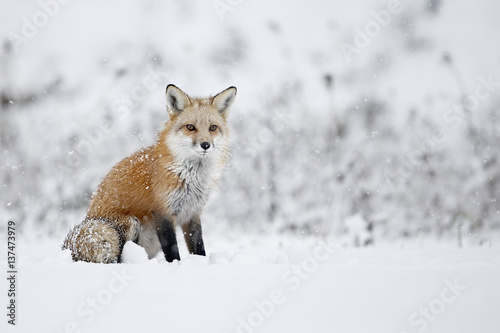 Photo Fox sitting in snow, Montreal, Quebec, Canada