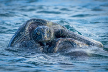 Two Galapagos Green Turtles (C...