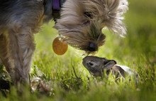 A Cute Yorkie Dog Sniffing A Little Baby Bunny Rabbit Nestled In The Grass; Kentucky, United States Of America