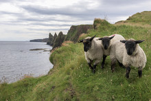 Sheep Standing On Grassy Coast...