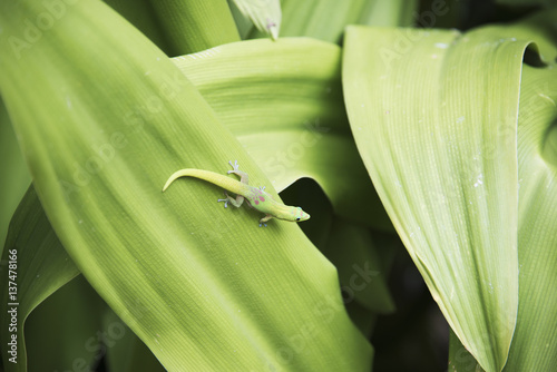 A beautifully coloured gecko is almost camouflaged on a leaf; Kailua Kona, Islan Poster