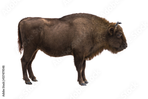Stampa su Tela European bison (Bison bonasus) isolate on a white background