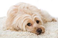 Müder Mischlingshund