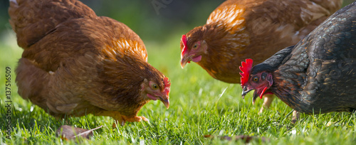 Photo sur Aluminium Poules hens in the garden on a farm - free breeding