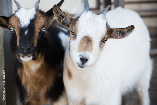 Photo  two little goats