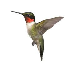 Ruby Throated Hummingbird Watercolor
