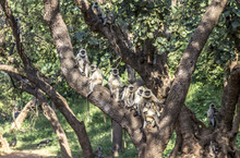 Vervet Monkeys At A Tree In Sariska National Park In India