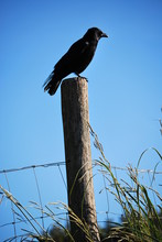 Crow On The Lookout For Adventure