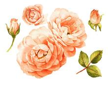 Pink-peach Roses Watercolor El...