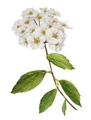 Plakat Spirea bush flower watercolor
