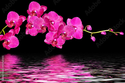 Orchid flower isolated on black background. - 137561355