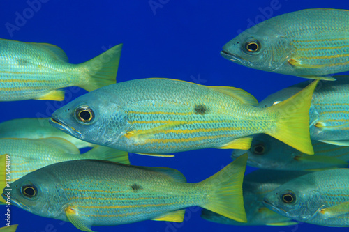 Dory snapper fish Poster