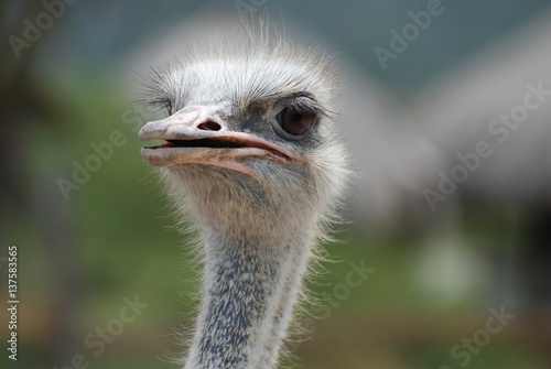 Keuken foto achterwand Struisvogel Feathers Sticking Up Around the Face of an Ostrich