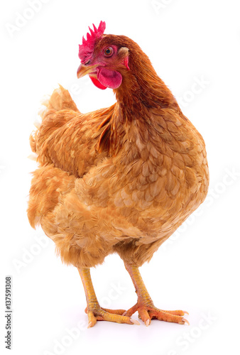Photo Brown hen isolated.