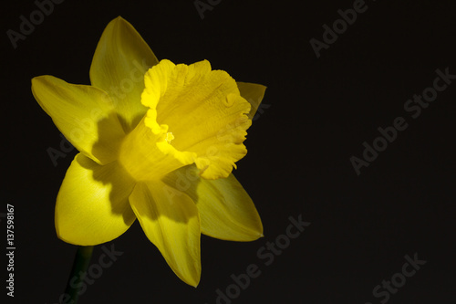 Deurstickers Narcis Close up image of yellow daffodil with directional lighting