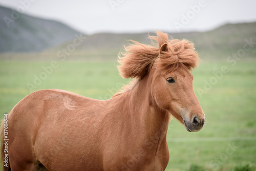 Photo  Chestnut horse in a pasture in Iceland