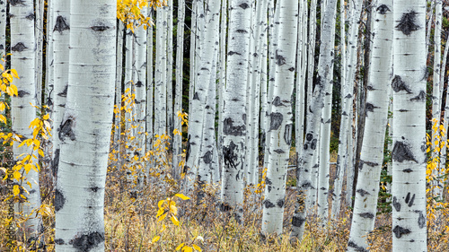 Fotografie, Obraz  Forest of Aspen trees in jasper national park, alberta, canada