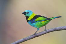 Green-headed Tanager (Tangara Seledon) On Branch In Garden, Itanhaem, Brazil