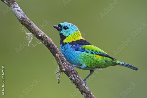 Green Headed Tanager