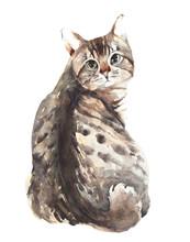 Cat American Shorthair Bobtail...