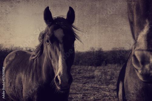 Antique horse portrait fram background.  Great for graphics or print.