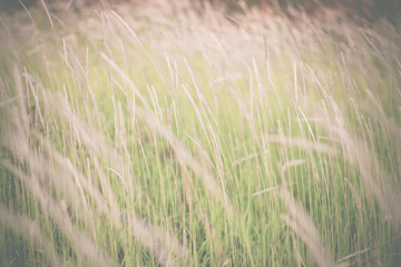 Obraz Grass flowers background on the field vintage tone. Soft focus.