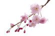 Full bloom sakura flower tree isolated, pink japan flora bush, spring floral branch on white background. Treetop of Cherry blossom petal leaf.