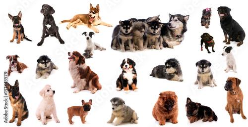 Fototapeta montage canin obraz na płótnie