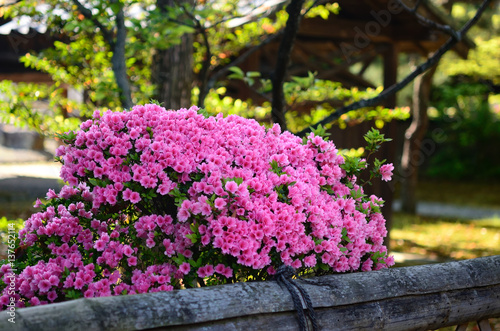 Fotobehang Azalea ツツジ 日本庭園 京都 Azalea flower at Japanese garden, Kyoto Japan